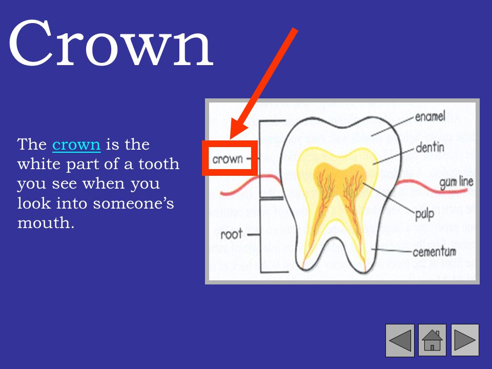 Crown The crown is the white part of a tooth you see when you look into someone's mouth.