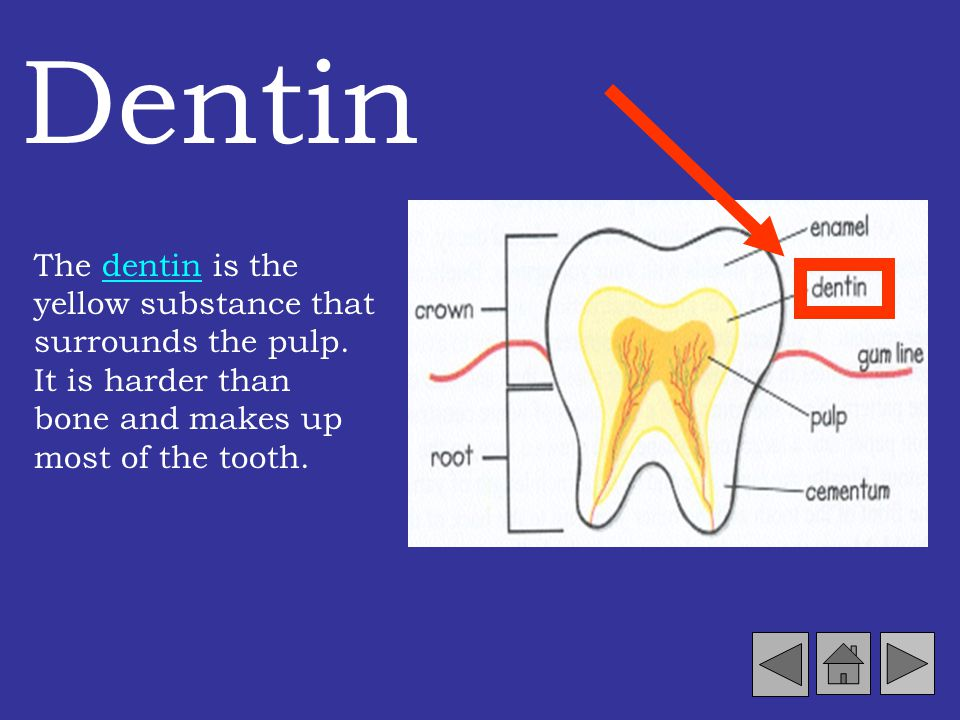Dentin The dentin is the yellow substance that surrounds the pulp.