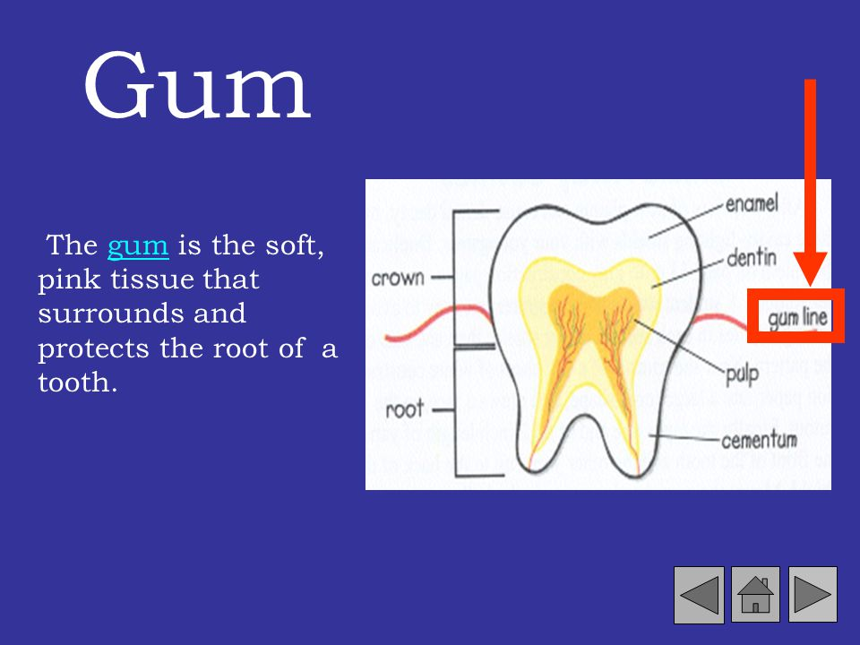 Gum The gum is the soft, pink tissue that surrounds and protects the root of a tooth.