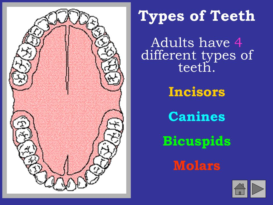 Adults have 4 different types of teeth.