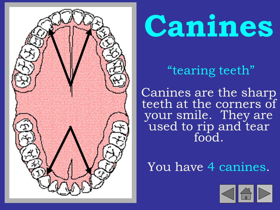 Canines tearing teeth