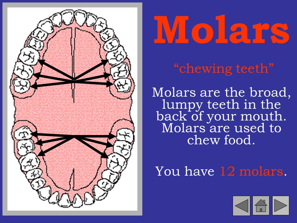 Molars chewing teeth