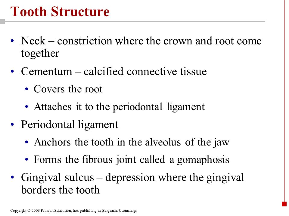 Tooth Structure Neck – constriction where the crown and root come together. Cementum – calcified connective tissue.
