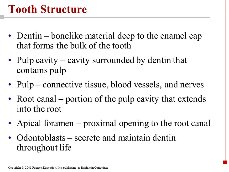 Tooth Structure Dentin – bonelike material deep to the enamel cap that forms the bulk of the tooth.