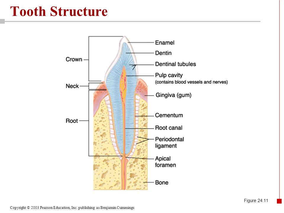 Tooth Structure Figure 24.11
