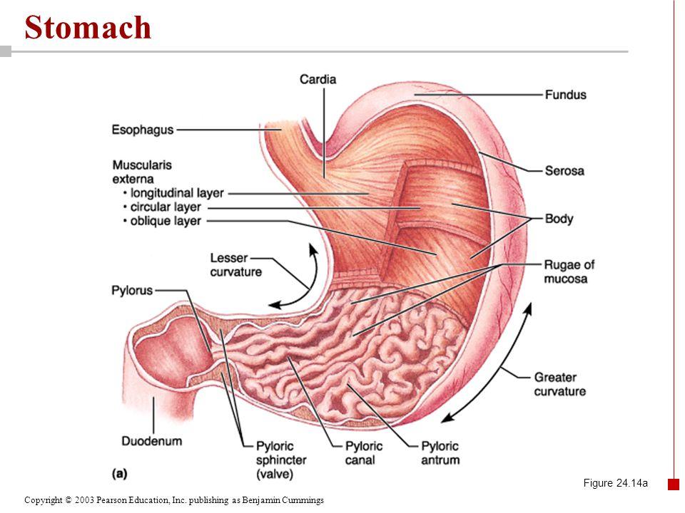 Stomach Figure 24.14a