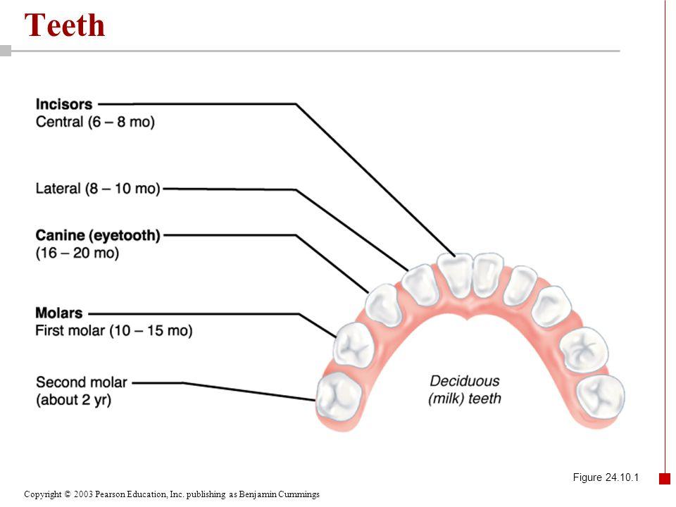 Teeth Figure 24.10.1