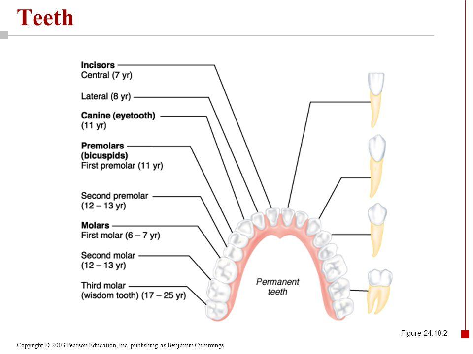 Teeth Figure 24.10.2