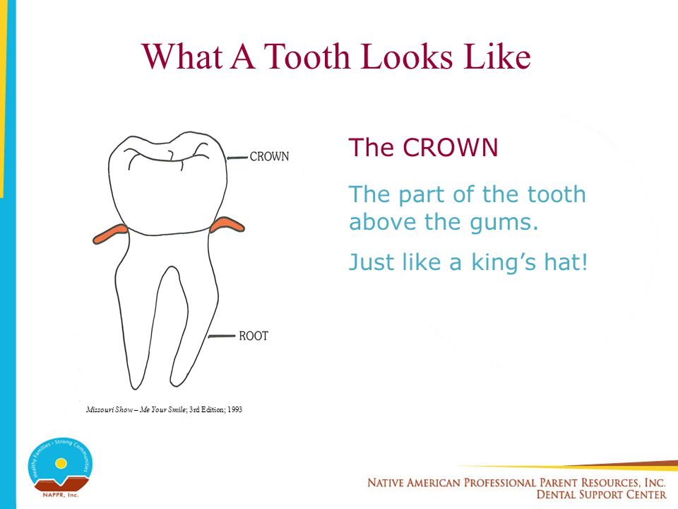 What A Tooth Looks Like The CROWN