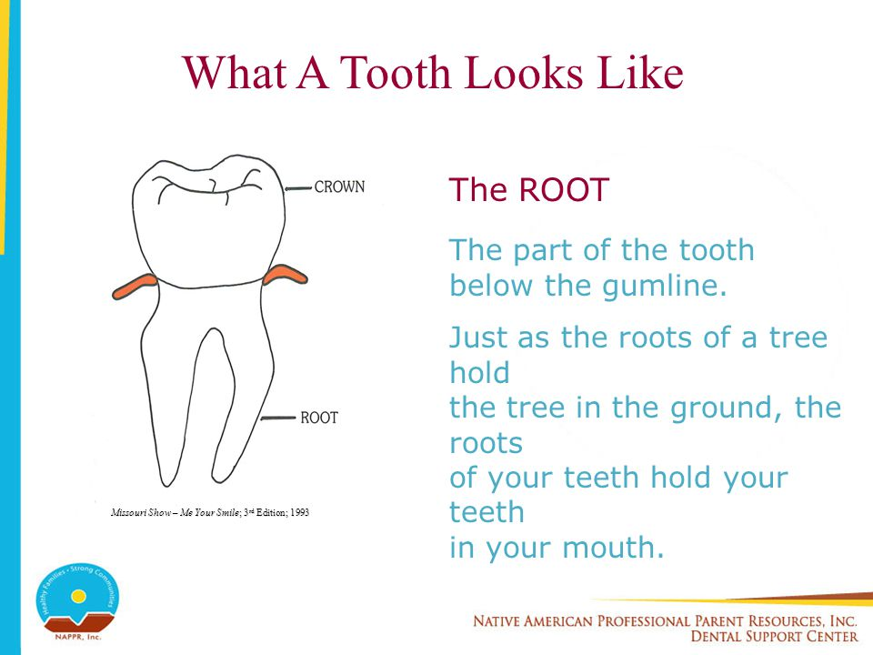What A Tooth Looks Like The ROOT