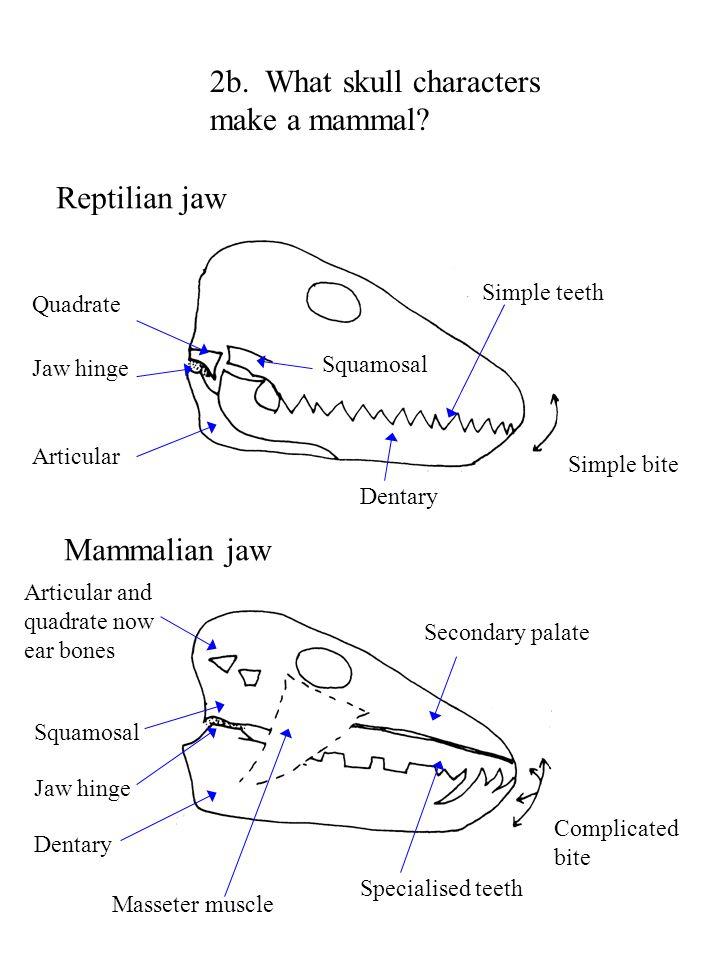 2b. What skull characters make a mammal