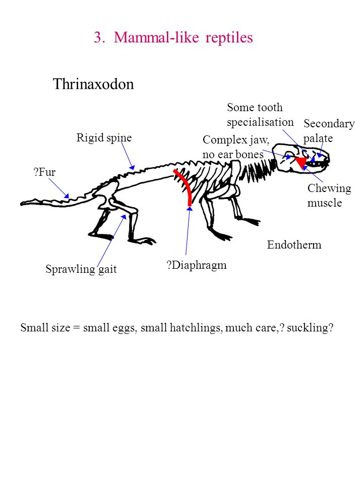 3. Mammal-like reptiles Thrinaxodon Some tooth specialisation