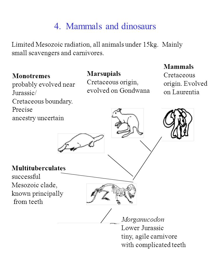 4. Mammals and dinosaurs Limited Mesozoic radiation, all animals under 15kg. Mainly. small scavengers and carnivores.