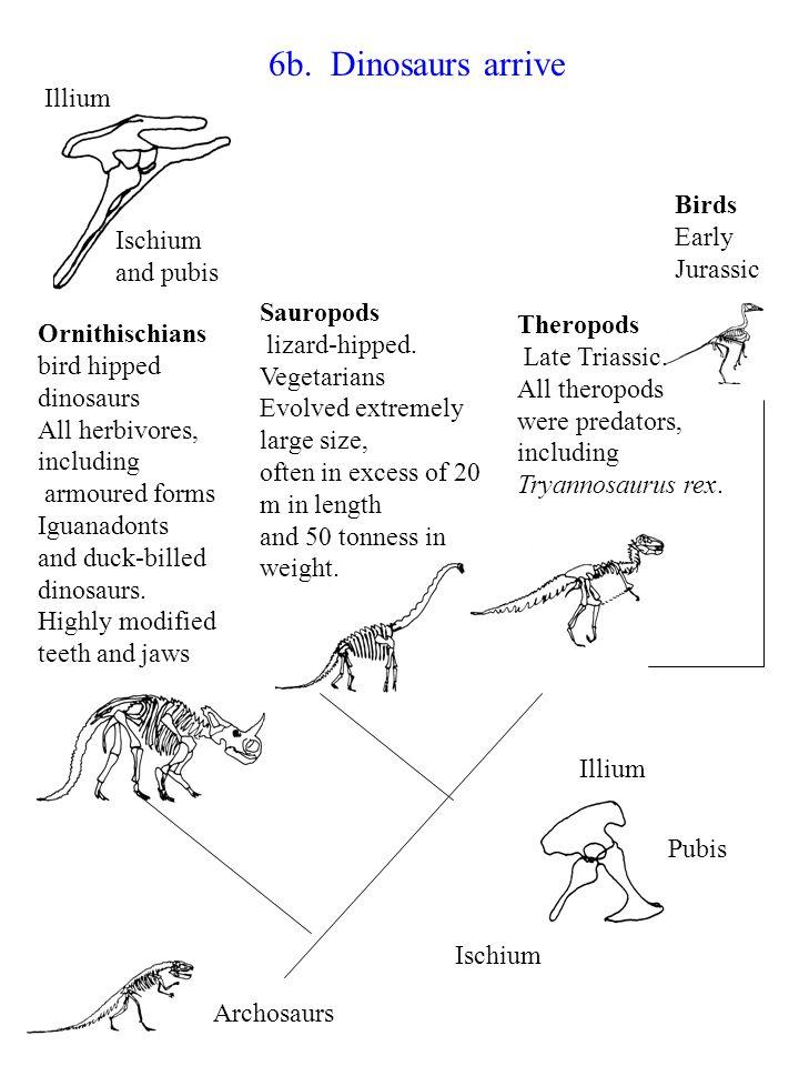 6b. Dinosaurs arrive Illium Birds Early Jurassic Ischium and pubis