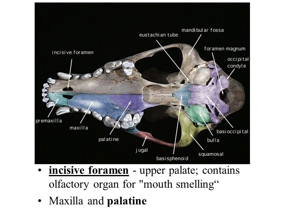 incisive foramen - upper palate; contains olfactory organ for mouth smelling