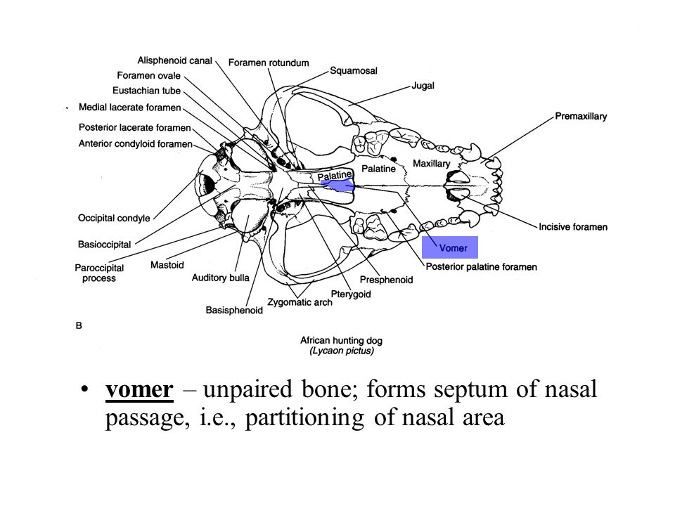 vomer – unpaired bone; forms septum of nasal passage, i. e