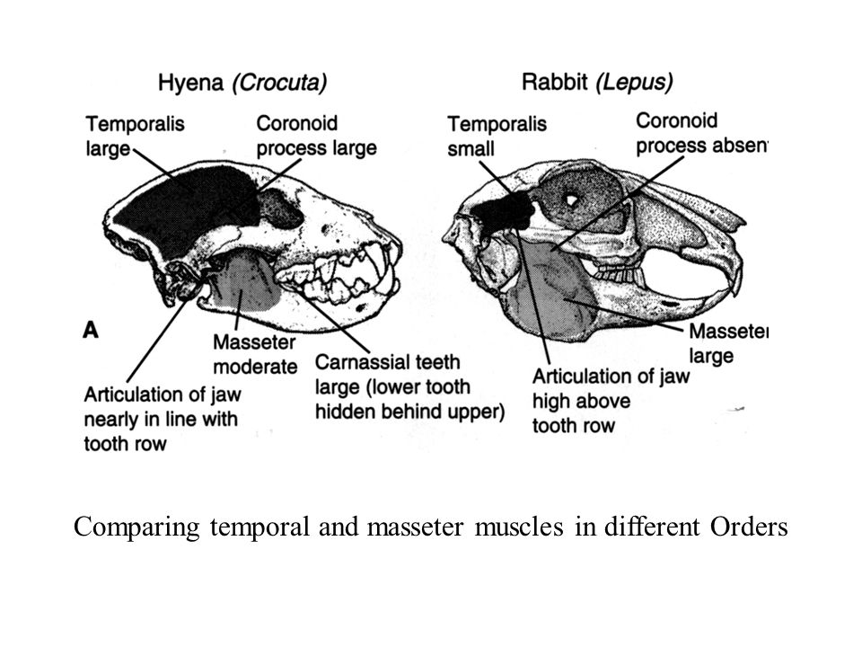 Comparing temporal and masseter muscles in different Orders