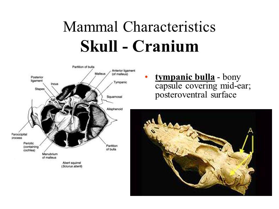Mammal Characteristics Skull - Cranium