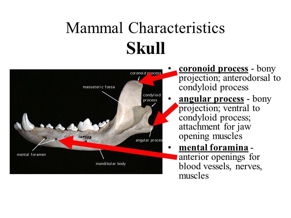 Mammal Characteristics Skull