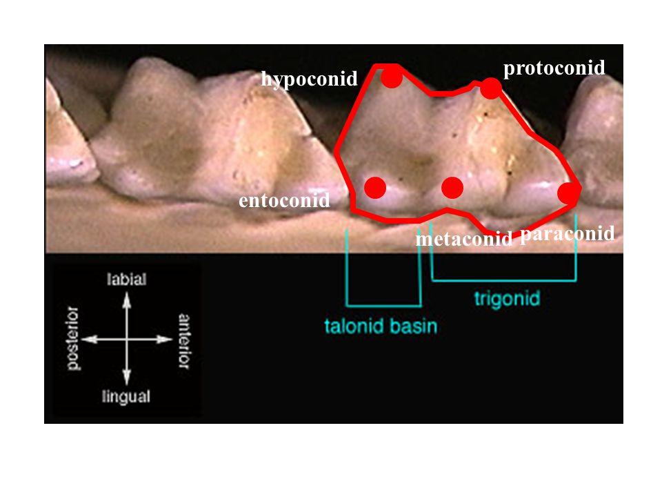protoconid hypoconid entoconid paraconid metaconid