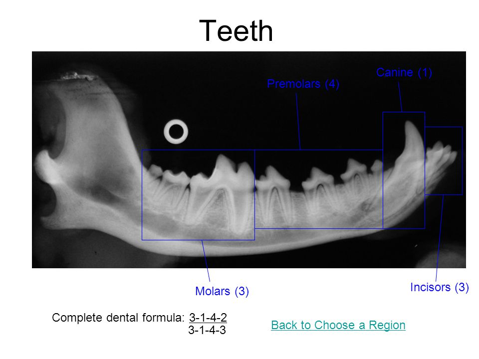 Teeth Canine (1) Premolars (4) Incisors (3) Molars (3)