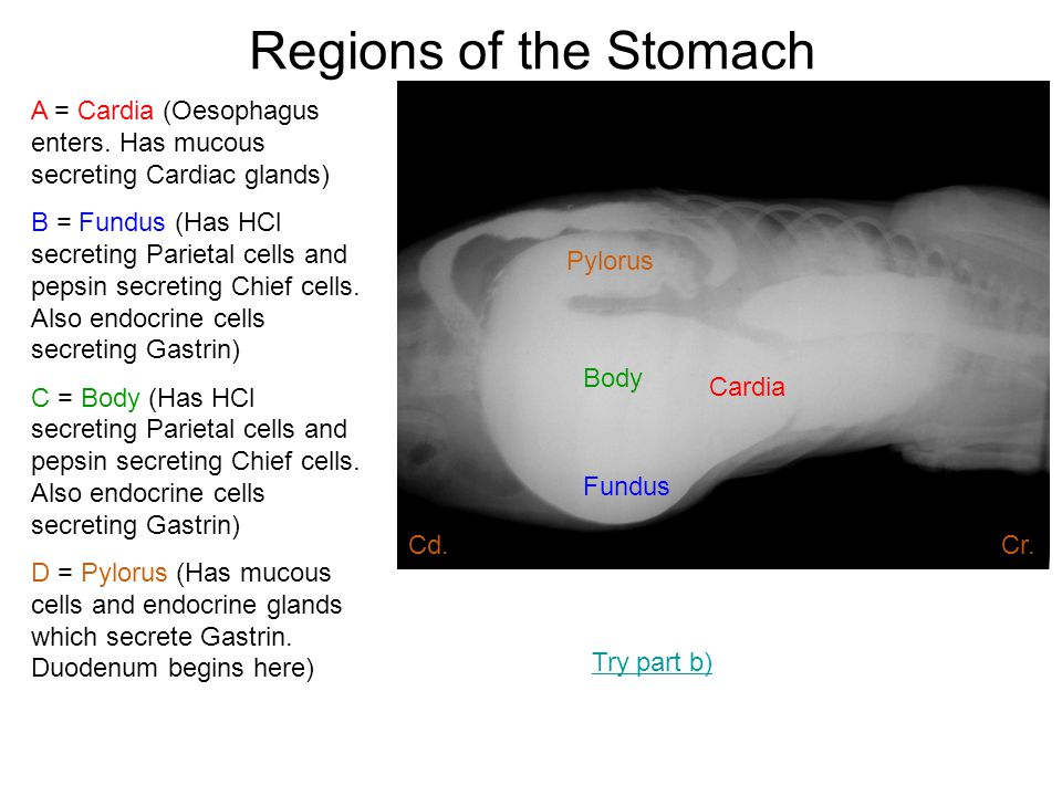 Regions of the Stomach A = Cardia (Oesophagus enters. Has mucous secreting Cardiac glands)