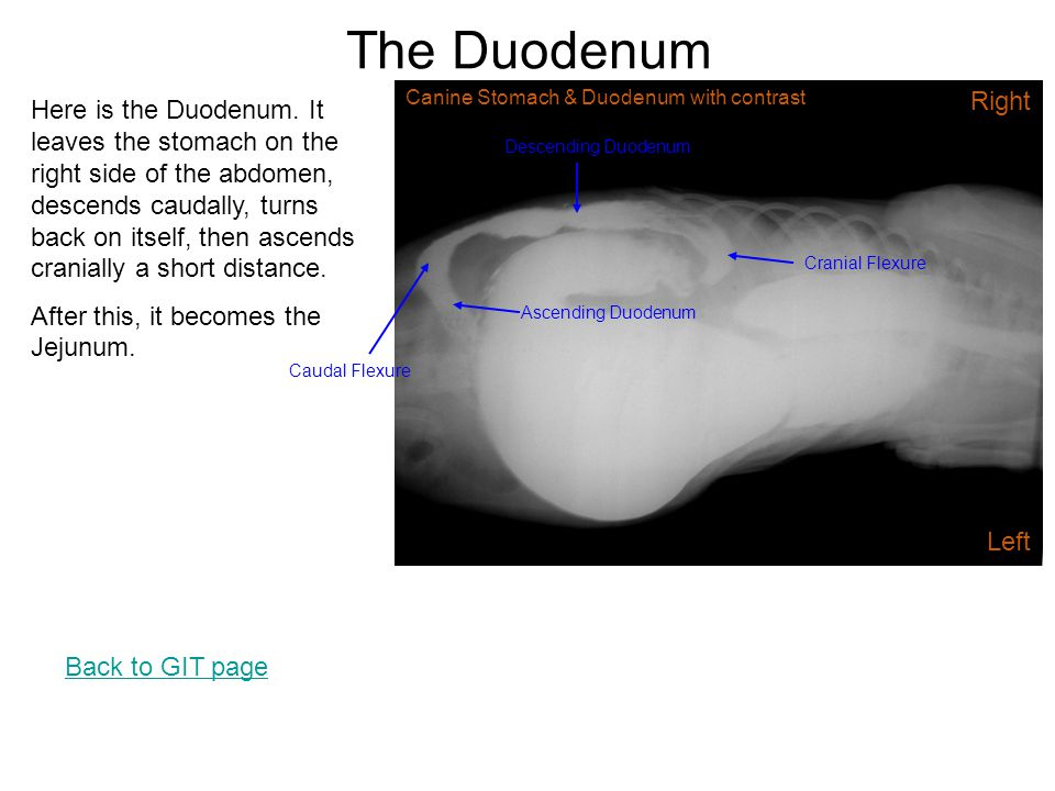 The Duodenum Canine Stomach & Duodenum with contrast. Right.