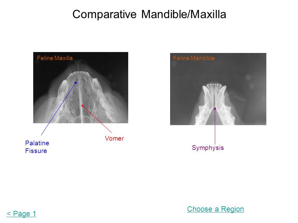 Comparative Mandible/Maxilla