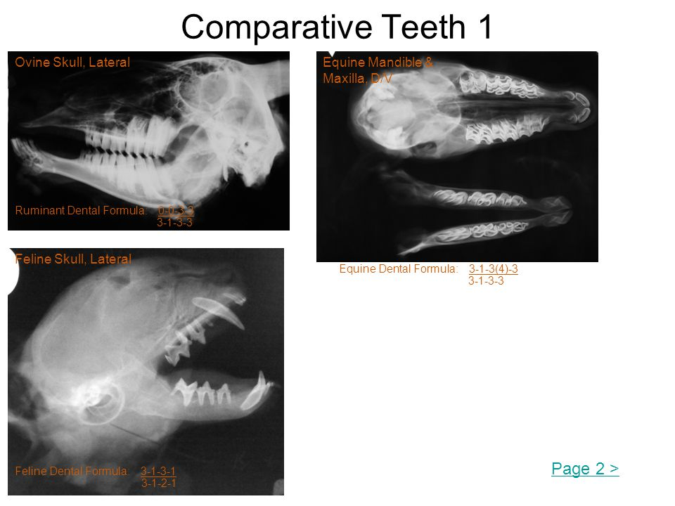 Comparative Teeth 1 Page 2 > Ovine Skull, Lateral