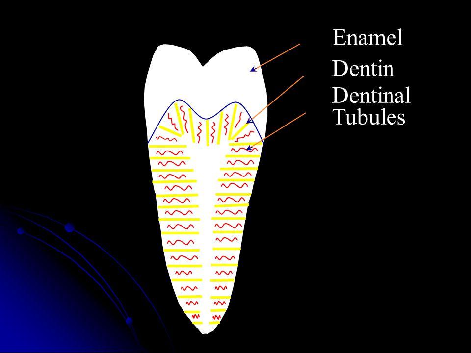 Dentin Enamel Dentinal Tubules
