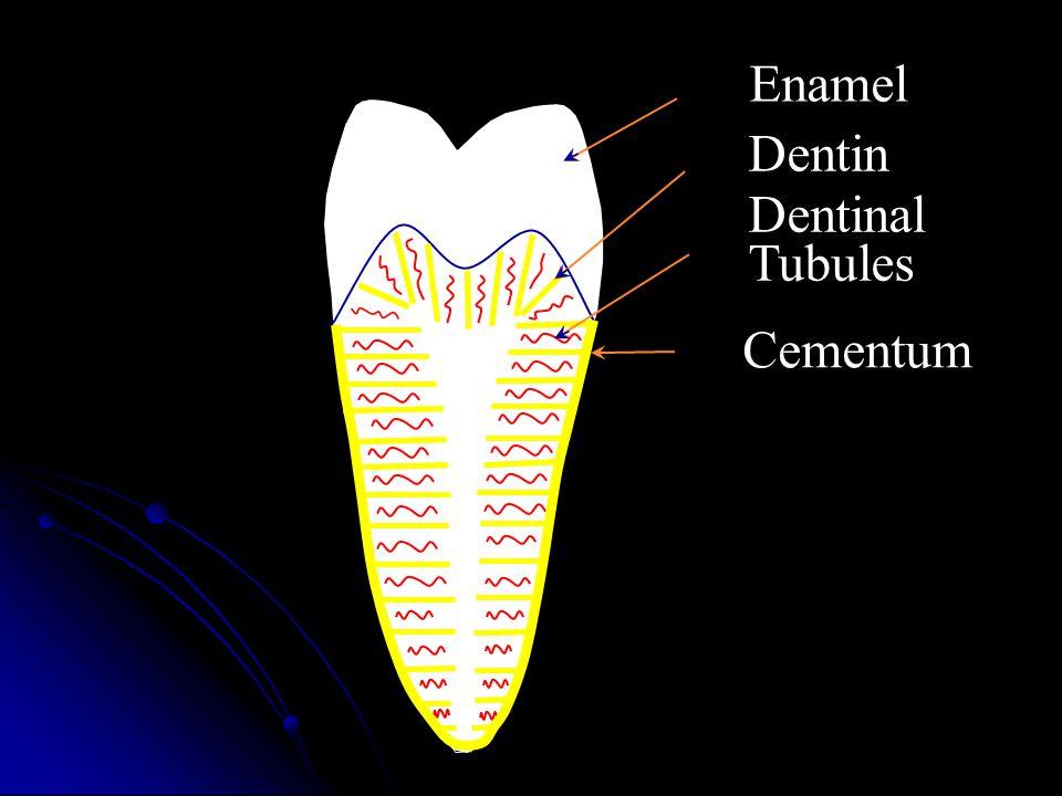 Dentin Enamel Dentinal Tubules Cementum