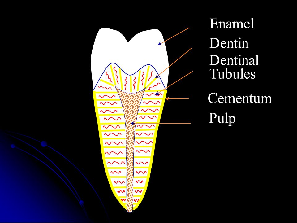 Dentin Enamel Dentinal Tubules Cementum Pulp