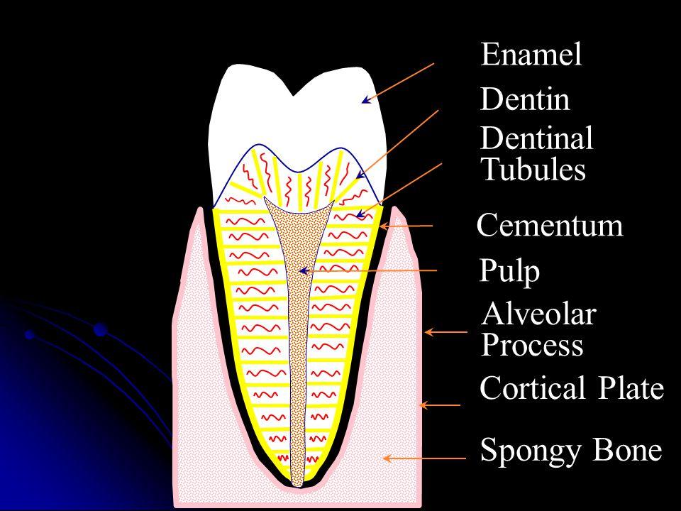 Dentin Enamel Dentinal Tubules Cementum Pulp Alveolar Process Cortical Plate Spongy Bone