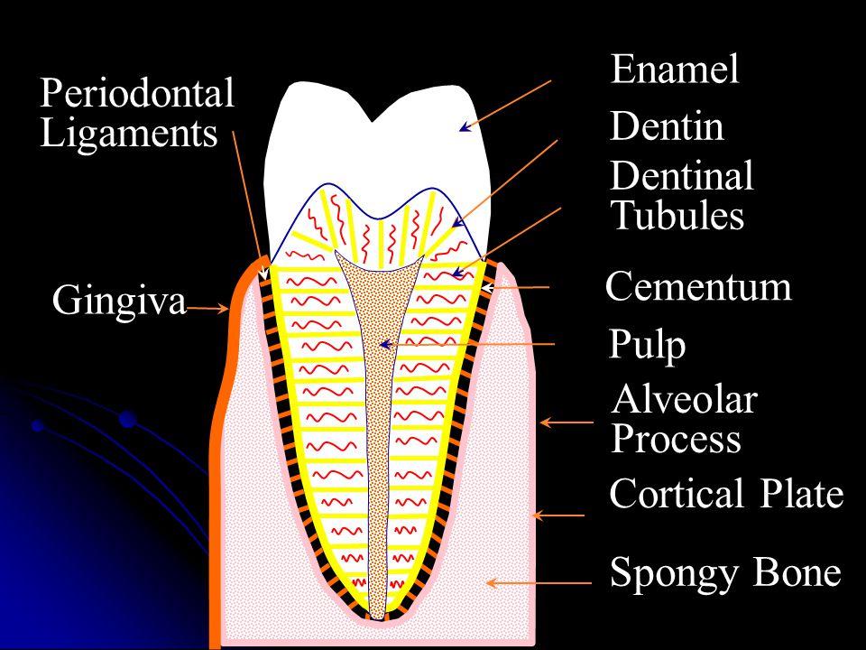 Dentin Enamel. Dentinal Tubules. Cementum. Pulp. Alveolar Process. Cortical Plate. Spongy Bone.