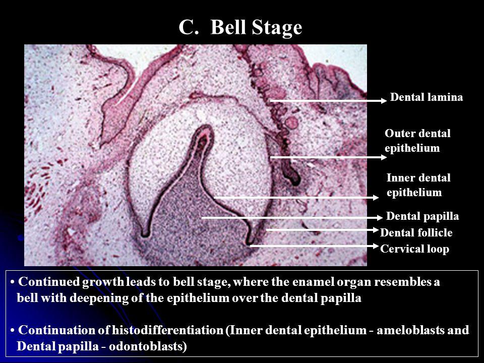 C. Bell Stage Dental lamina. Outer dental. epithelium. Inner dental. epithelium. Dental papilla.