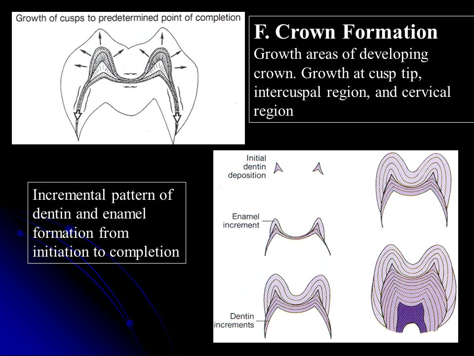 F. Crown Formation Growth areas of developing crown. Growth at cusp tip, intercuspal region, and cervical region.