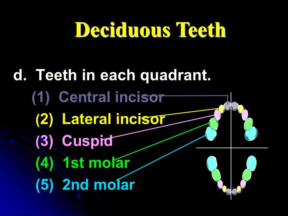Deciduous Teeth d. Teeth in each quadrant. (1) Central incisor