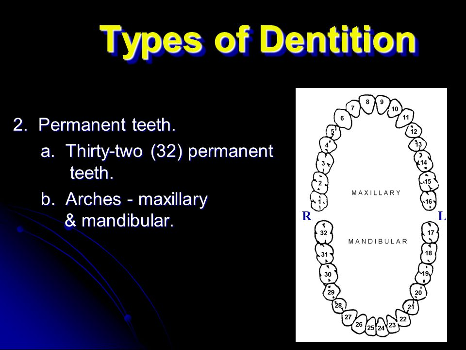 Types of Dentition 2. Permanent teeth.