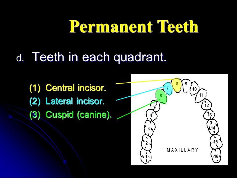 Permanent Teeth Teeth in each quadrant. (1) Central incisor.