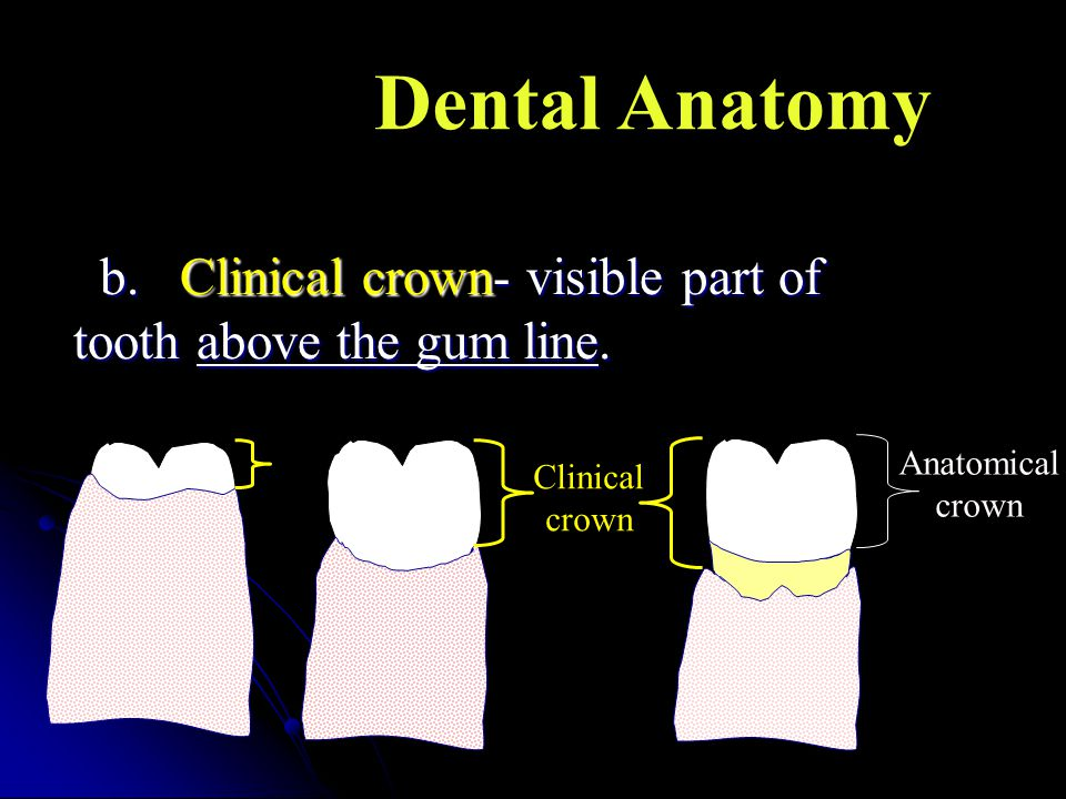 Dental Anatomy b. Clinical crown- visible part of