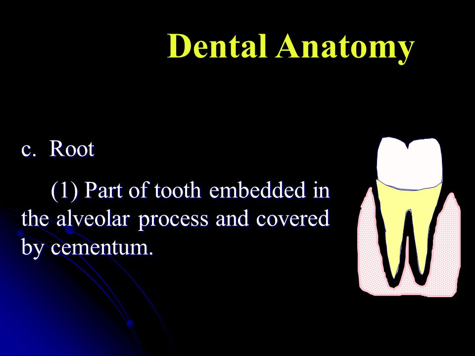 Dental Anatomy c. Root (1) Part of tooth embedded in the alveolar process and covered by cementum.