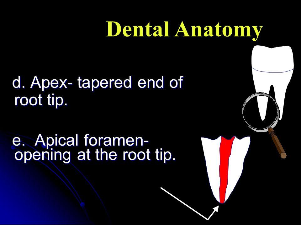 Dental Anatomy d. Apex- tapered end of root tip.