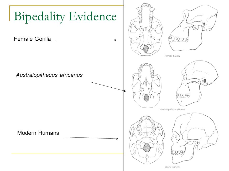 Bipedality Evidence Female Gorilla Australopithecus africanus