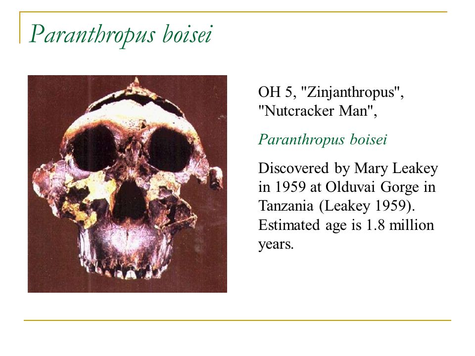 Paranthropus boisei OH 5, Zinjanthropus , Nutcracker Man ,