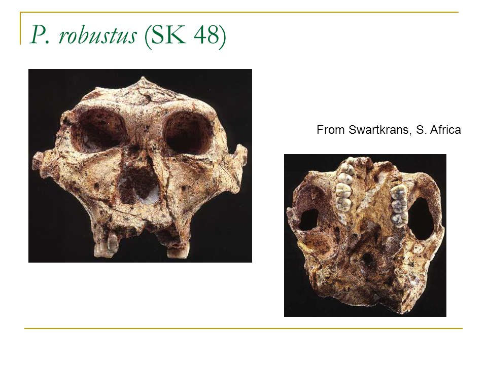 P. robustus (SK 48) From Swartkrans, S. Africa