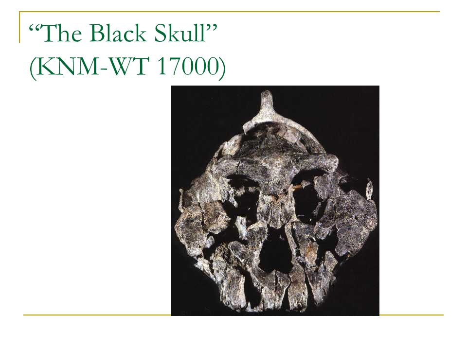 The Black Skull (KNM-WT 17000)