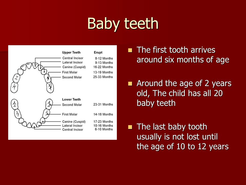 Baby teeth The first tooth arrives around six months of age