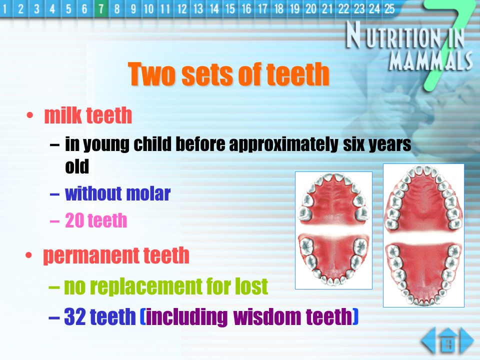 Two sets of teeth milk teeth permanent teeth no replacement for lost
