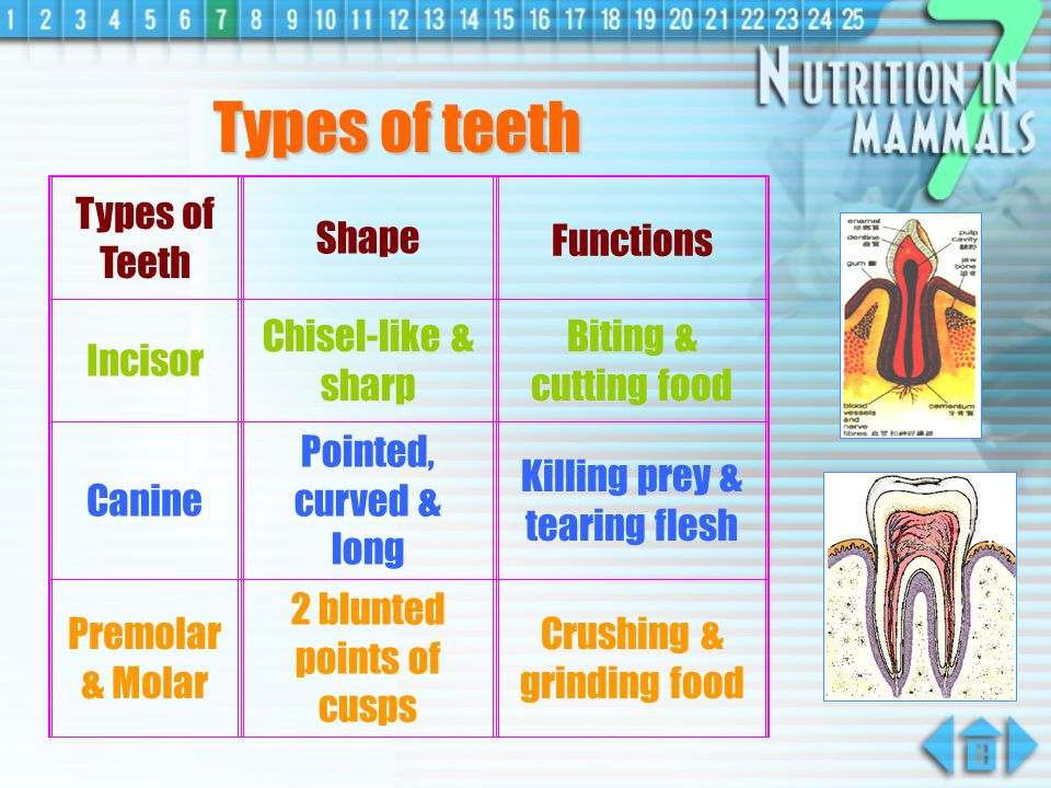 Types of teeth Types of Teeth Shape Functions Incisor