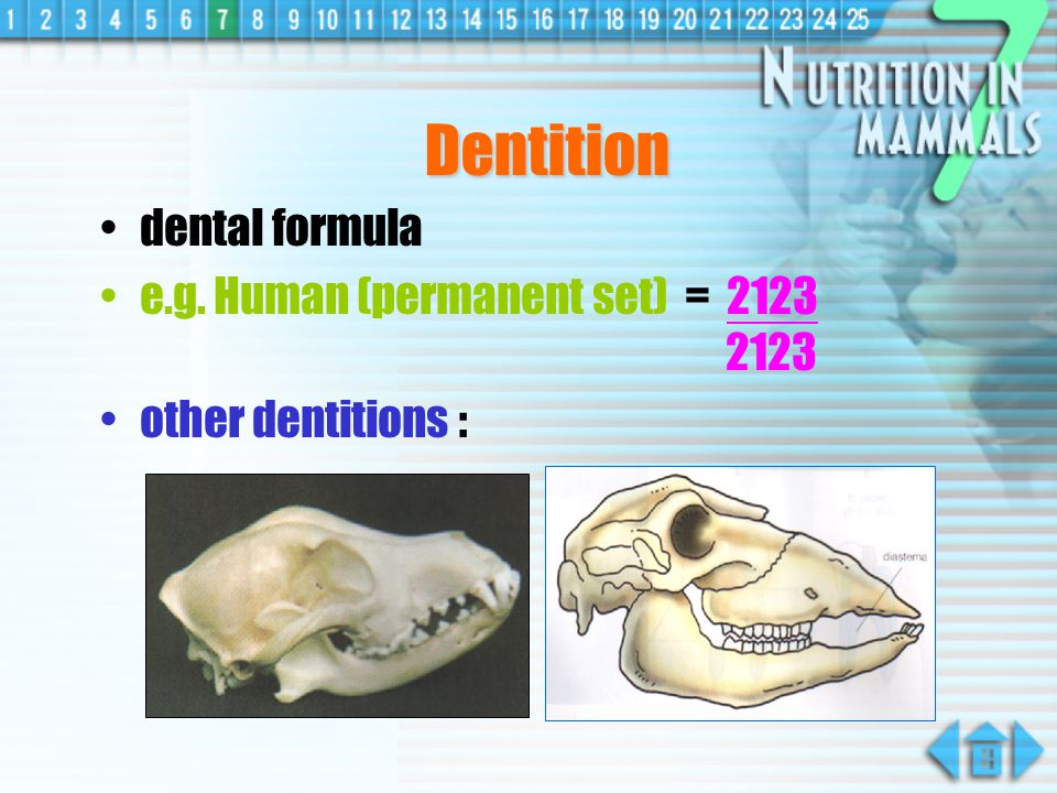 Dentition dental formula e.g. Human (permanent set) = 2123 2123